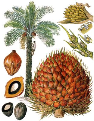 Palm Oil Nut Tree