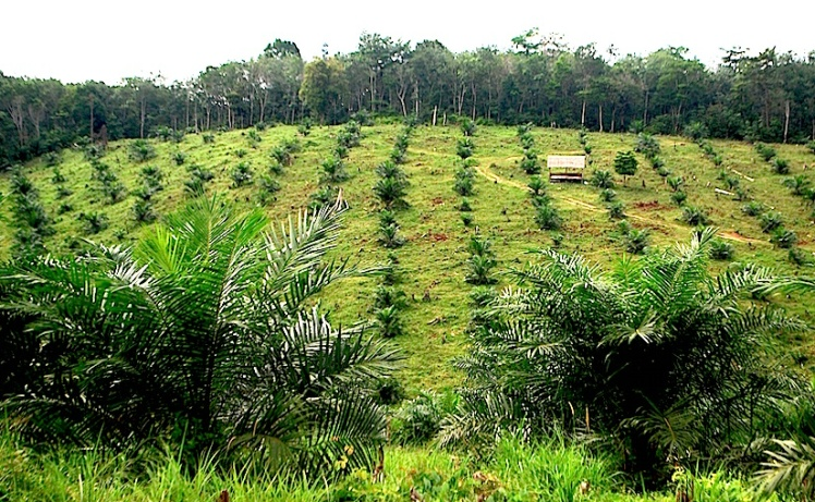 Palm Oil Nut Tree Plantation