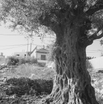 Olive Tree in Palestine