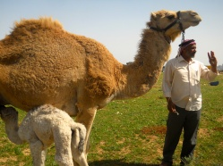 Bedouin Man with Camels
