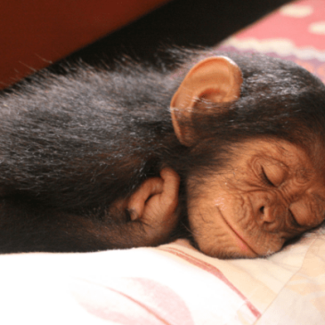 Change for Chimps – Art and Adventure for Ape Conservation